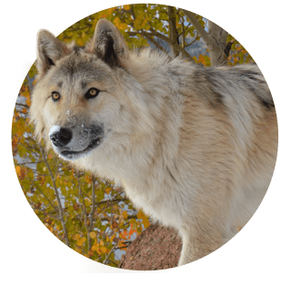 Meet the wolves   Colorado Wolf Adventures