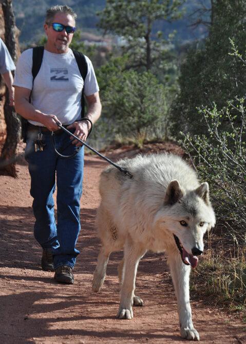Colorado Wolf Adventures   Wolf walks and photos